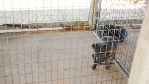 Photo by Aaron Paden A dog looks out from a kennel at the shelter Wednesday. A new organization, Friends of the Brookhaven City Shelter, will soon begin work on improving the facility.