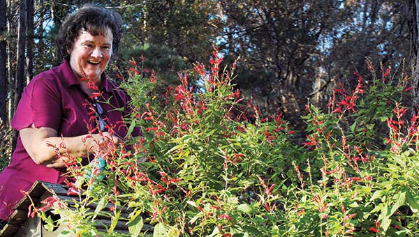 Photo by Aaron Paden/ Kathy Sanders tends her pineapple sage plant Wednesday.