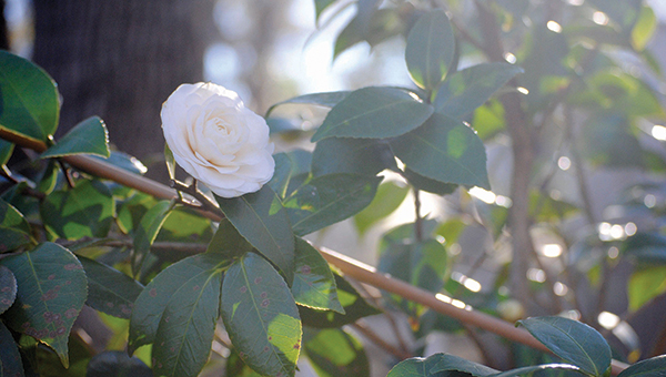 Photo by Aaron Paden / Ward 4 alderwoman Shirley Estes has many varieties of camellia in her garden. The annual Camellia Show will be held Saturday at the Brookhaven Recreation Department