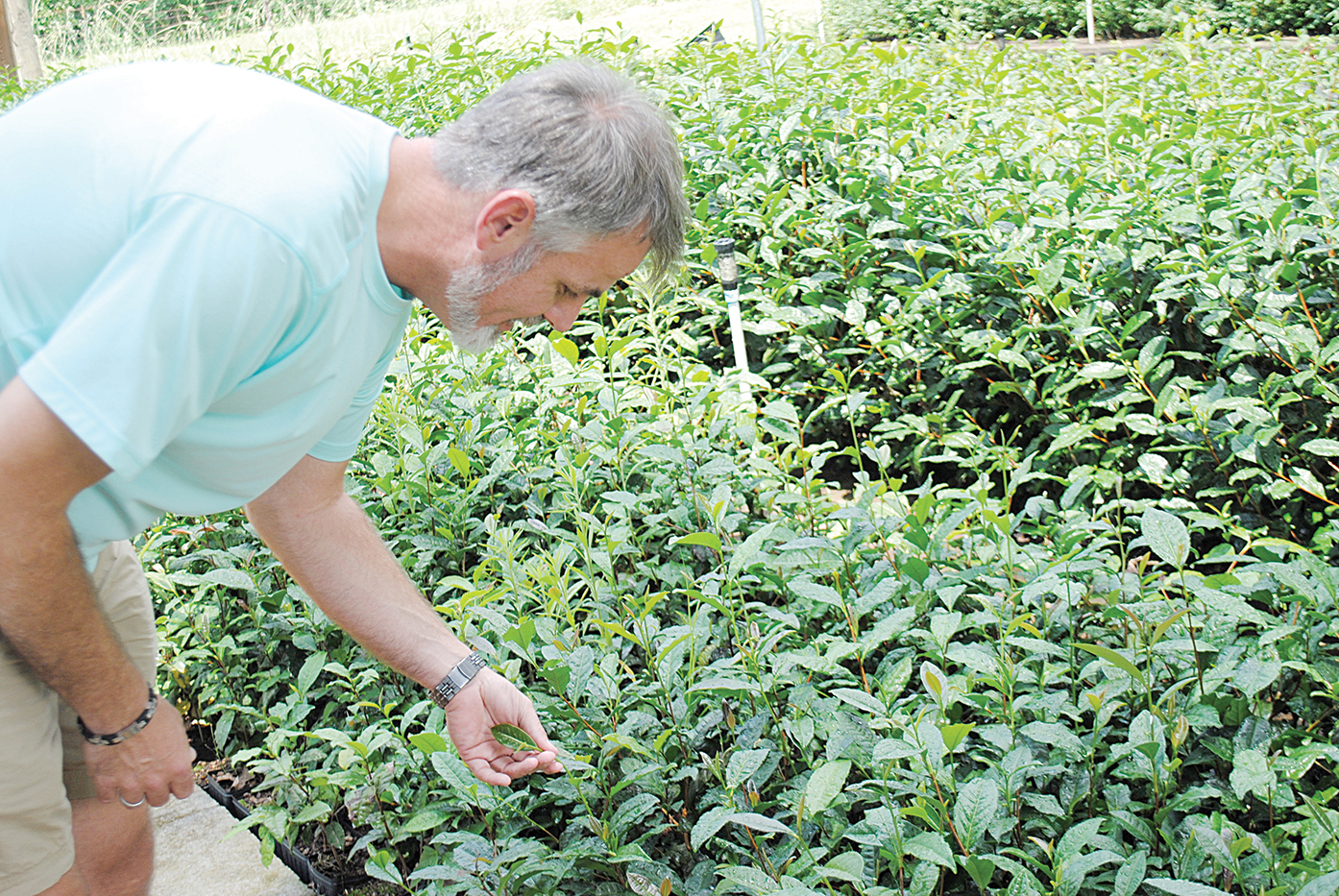 Photo by Aaron Paden/Jason McDonald examines the tea plants on his farm Friday. The camellia sinensis is an evergreen that takes years to fully develop into a viable crop.