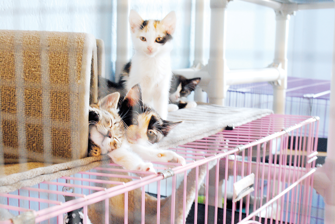 Photos by Aaron Paden/The Brookhaven Animal Rescue League will offer a discounted adoption fee on cats for June, in an effort to find each one a forever home.
