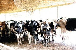 The milk produced in 2015 from the 12,000 dairy cows in Mississippi was valued at $32 million.