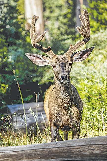 Photo submitted/Over the past year more than 22,700 insurance claims have occurred from deer collisions in Mississippi. MDOT is advising drivers to use caution when driving this time of year to avoid a deer-vehicle collision.