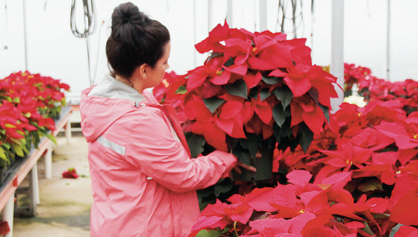 Photo by Alex Jacks/Bud's & Blooms' employee Cherish Montgomery picks out a poinsettia for a customer. The nursery, located at 3066 Hwy. 550, offers locals a mix of poinsettias in various color, size and price options this holiday season. Poinsettias are one of the longest-lasting blooming plants available, according to Lincoln County Extension Agent Rebecca Bates. The plant should be kept away from hot or cold drafts and protected from cold winds, she said. Poinsettias grow best when kept at a temperature range of 60 to 72 degrees.